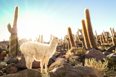 Photo for White llama at cactus garden by Isla Incahuasi in Salar de Uyuni - Nature wonder travel destination in Bolivia South America - Wanderlust and animal concept with wildlife lama on warm backlight filter - Royalty Free Image