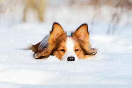 Border collie puppy 1 year old in winter