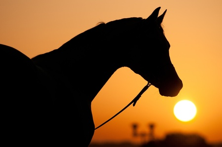Photo for silhouette of Arabian horse and sunrise in summer - Royalty Free Image