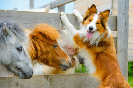 pony and Border Collie dog are dating