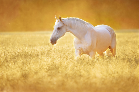 Photo for White Orlov trotter horse in rye, golden sunset - Royalty Free Image