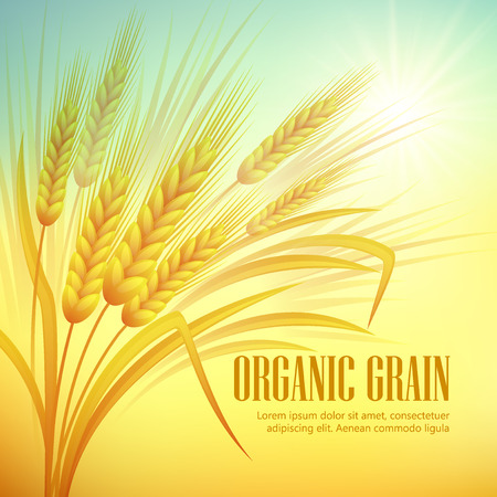 Illustration pour Wheat field  background. Vector illustration EPS 10 - image libre de droit