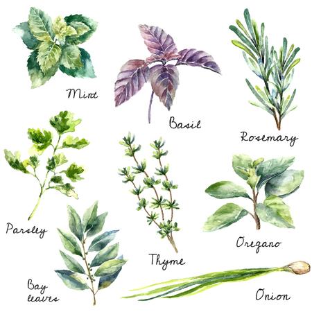 Ilustración de Watercolor collection of fresh herbs isolated: mint, basil, rosemary, parsley, oregano, thyme, bay leaves, green onion.  Hand draw illustration. - Imagen libre de derechos