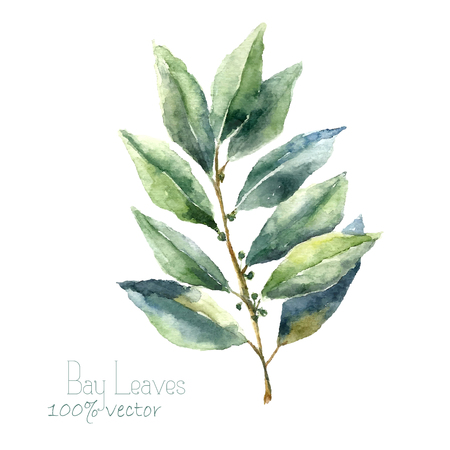 Illustration pour Watercolor bay leaf. Hand draw bay leaves illustration. Herbs vector object isolated on white background. Kitchen herbs and spices banner. - image libre de droit
