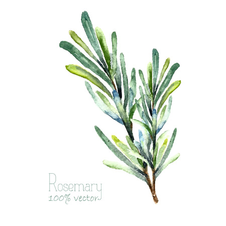 Ilustración de Watercolor rosemary. Hand draw rosemary illustration. Herbs vector object isolated on white background. Kitchen herbs and spices banner. - Imagen libre de derechos