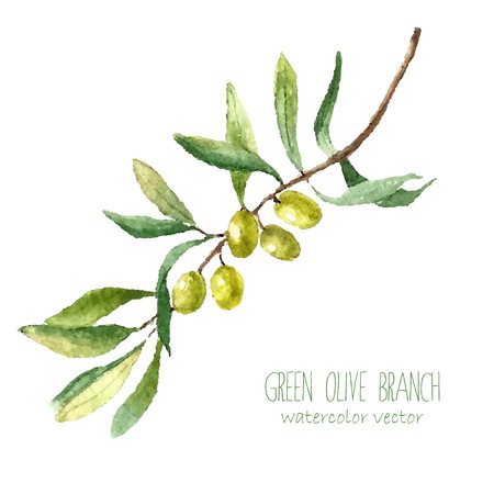 Illustration pour Watercolor green olive branch on white background . Hand drawn isolated natural vector object with place for text. Healthy and natural card design - image libre de droit