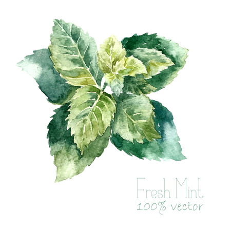 Ilustración de Watercolor mint. Hand draw mint illustration. Herbs vector object isolated on white background. Kitchen herbs and spices banner. - Imagen libre de derechos