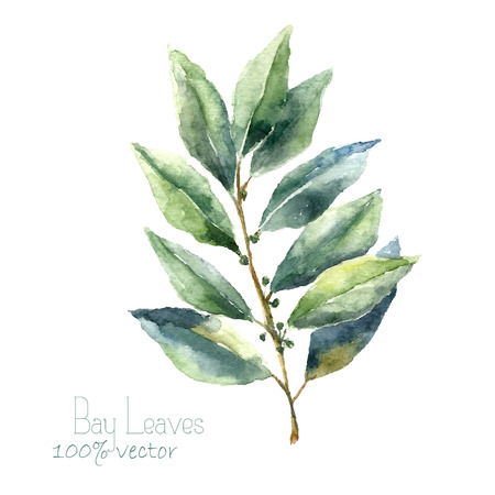 Illustration for Watercolor bay leaf. Hand draw bay leaves illustration. Herbs vector object isolated on white background. Kitchen herbs and spices banner. - Royalty Free Image