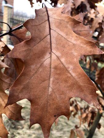 Foto de Autumn oak leaf on tree - Imagen libre de derechos