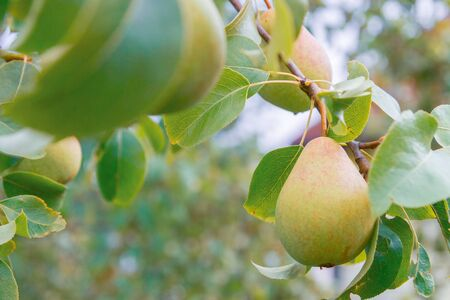 Photo pour Pear hanging on a tree and Matures in late summer - image libre de droit