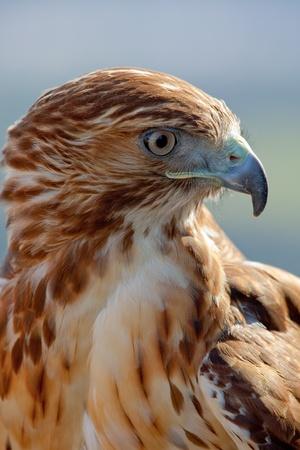 Foto de Fantastic eagle of red tail (Buteo jamaicensis) posing placidly - Imagen libre de derechos
