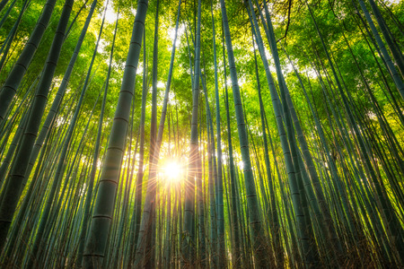 Photo for The Arashiyama Bamboo Grove of Kyoto, Japan. - Royalty Free Image