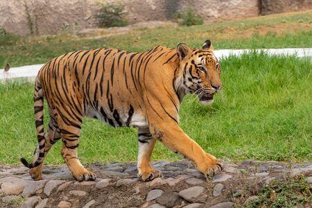 Photo pour Bengal Tiger walking on concrete path. Looking Great. - image libre de droit