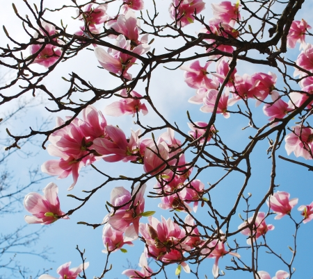 spring magnolia tree flowers