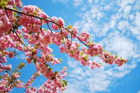 Photo pour Japanese cherry blossom in spring - image libre de droit