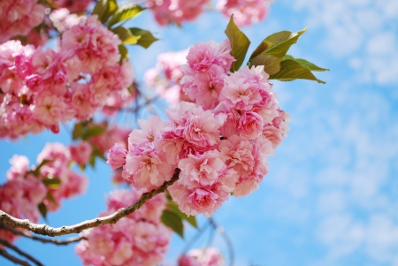 Photo for Japanese cherry blossom in spring - Royalty Free Image