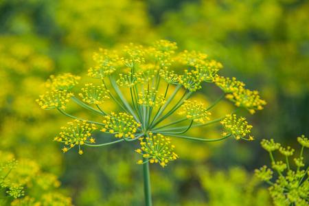 Foto de Seeds of fennel plants on the bed - Imagen libre de derechos