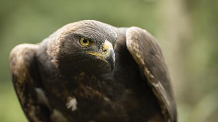 Photo pour UK, Sherwood Forrest, Nottinghamshire  Birds of Prey Event -  October 2018: This Golden Eagle in part of a breeding & conservation program in the UK - image libre de droit