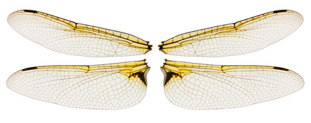 Photo for Dragonfly wings symmetric isolated on white background - Royalty Free Image