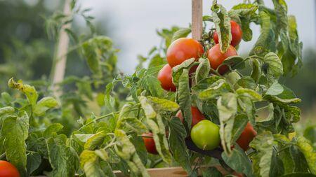 Foto de Tomatoes ripen in a well-kept garden - Imagen libre de derechos