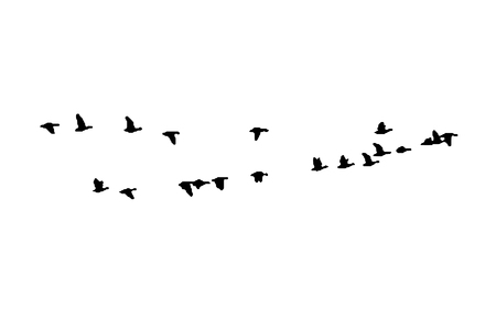 Illustration pour Greater white-fronted goose wedge in flight. Vector silhouette a flock of birds. - image libre de droit
