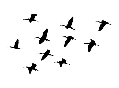 Ilustración de Glossy ibis wedge in flight. Vector silhouette a flock of birds. - Imagen libre de derechos