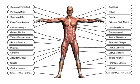 Foto de High resolution concept or conceptual 3D human anatomy and muscle isolated on white background as metaphor to body - Imagen libre de derechos