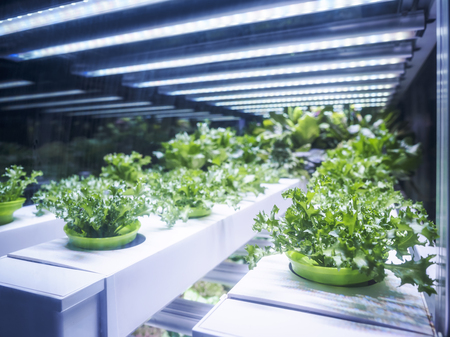 Foto per Greenhouse Plant row Grow with LED Light Indoor Farm Agriculture Technology - Immagine Royalty Free