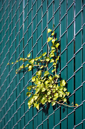 Live green ivy located on the wire grid fence with inserted inside plastic green picket fence