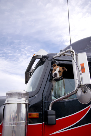 Photo pour The spotted fighting bulldog dog looks smart in you eyes with an appraising look from the driver's window of a professional big rig semi truck appraising the potential danger or friendliness of approaching people - image libre de droit