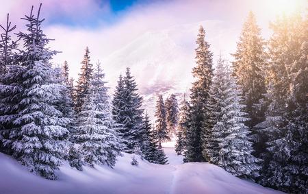 Foto de Sunset in the wood between the trees strains in winter period. Carphatian mountains - Imagen libre de derechos