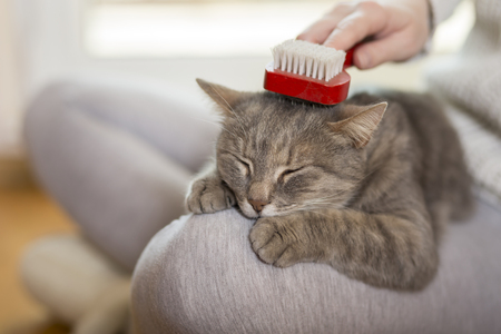Photo pour Tabby cat lying in her owner's lap and enjoying while being brushed and combed. Selective focus - image libre de droit