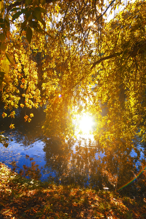 Photo for The warm autumn sun shining through golden canopy of tall beech trees - Royalty Free Image