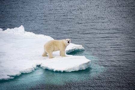 Foto de Polar bear walking on sea ice in the Arctic - Imagen libre de derechos
