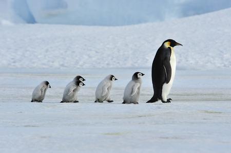 Foto de Emperor Penguins with chick - Imagen libre de derechos