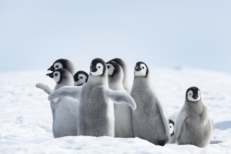 Photo pour Emperor Penguins chicks at Snow Hill Antarctica 2018 - image libre de droit