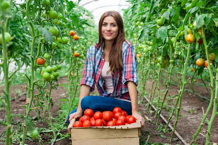 Young smiling agriculture woman worker and a crate of tomatoes in the front, working, harvesting tomatoes in greenhouse.