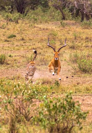 Photo pour Photo series: Cheetah hunting for big Impala. The ninth episode. Masai Mara, Kenya - image libre de droit