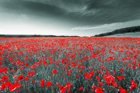 Foto de Black and white image of a meadow with red field poppies. Crimea. Russia. Ukraine - Imagen libre de derechos