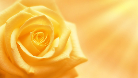 Foto de Yellow rose illuminated by sun rays on yellow background - Imagen libre de derechos