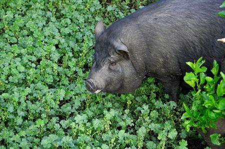 Black little pig on the grass