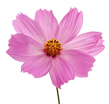 Photo for  single pink flower of cosmos isolated on white background - Royalty Free Image