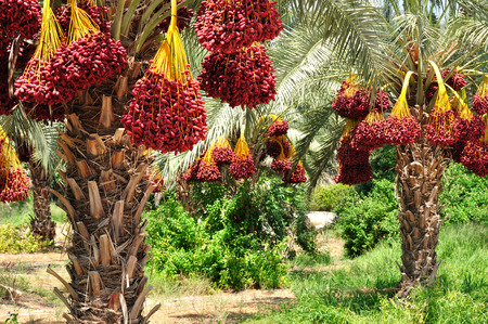 Photo for Date palm branches with ripe dates. Northern israel. - Royalty Free Image