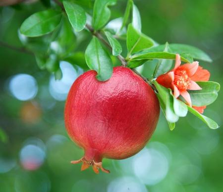 Photo pour Ripe pomegranate on the branch. The foliage on the background.  - image libre de droit