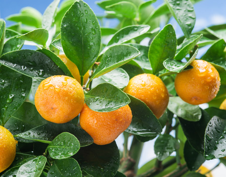 Photo for Ripe tangerine fruits on the tree. Blue sky background. - Royalty Free Image