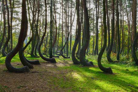 Foto de A weird curious forest in Poland. - Imagen libre de derechos