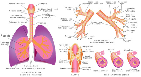 Illustration pour Respiratory system. Human trachea and bronchi, Larynx. Trachea and major bronchi of lungs. Rings and left main bronchi. - image libre de droit