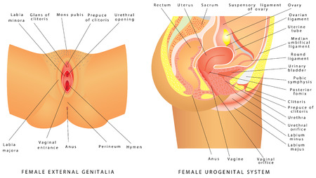 Illustration pour Female urogenital system. Anatomy of the female reproductive system. Female reproductive system median section, genital organs. Female External Genitalia - image libre de droit