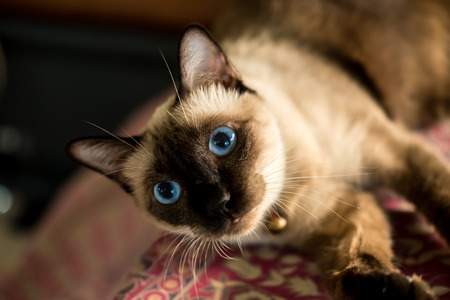 Photo for Siamese cat resting on cushions. - Royalty Free Image