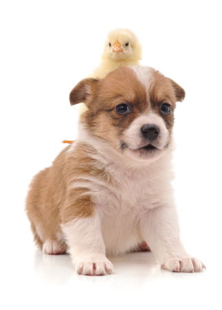 Photo pour Cute puppy and yellow chicken isolated on a white background. - image libre de droit